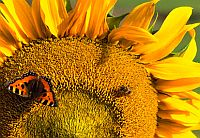 butterfly-and-bee-on-sunflower